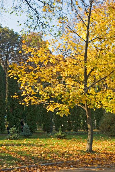 Parque amarillo hojas de otoño forestales naturaleza verde Foto stock © vrvalerian
