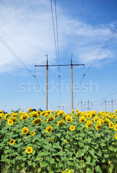 Zonnebloemen macht lijn Geel blauwe hemel bloem Stockfoto © vrvalerian