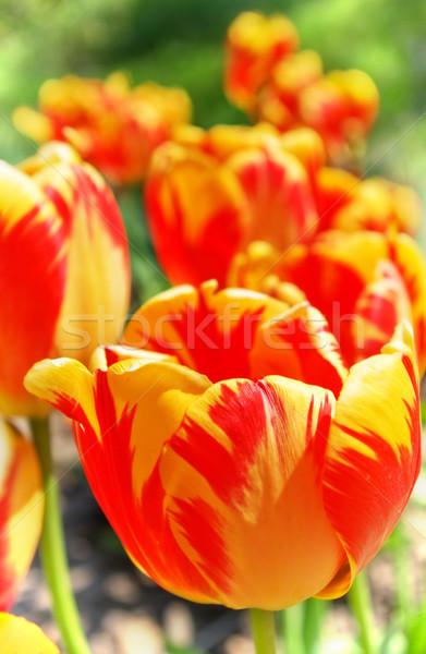 Lale kırmızı turuncu sarı çiçek atış Stok fotoğraf © vrvalerian
