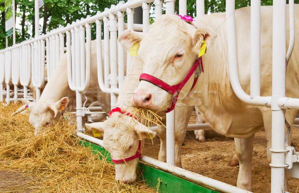 Koeien groot voedsel gras koe Stockfoto © vrvalerian