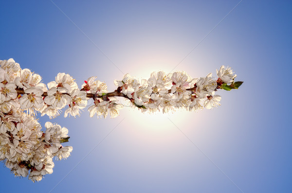 Virágzó virágok sárgabarack fa kék közelkép Stock fotó © vrvalerian
