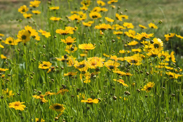 Geel veld bloemen wild madeliefjes kamille Stockfoto © vrvalerian