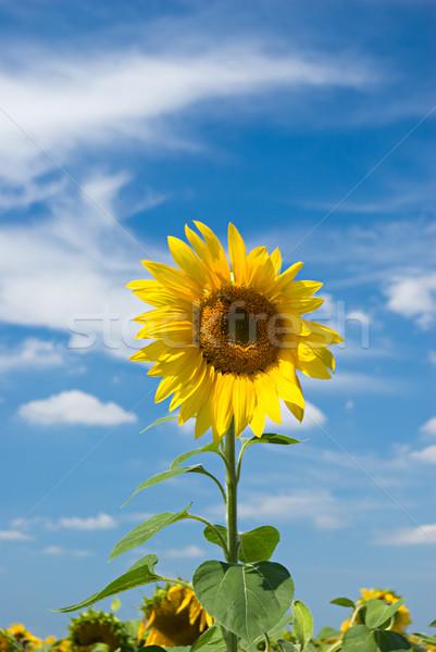 sunflower Stock photo © vrvalerian