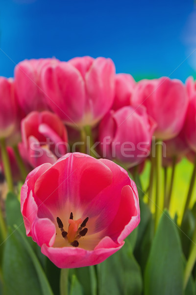 Tulpen boeket vers roze Blauw Pasen Stockfoto © vrvalerian