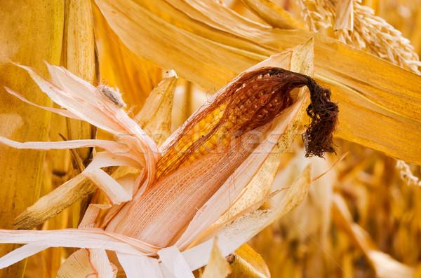 corncob Stock photo © vrvalerian