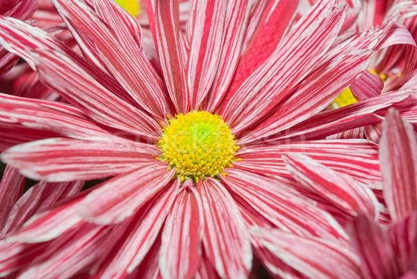 Rosa crisântemo jardim natureza beleza verão Foto stock © vrvalerian