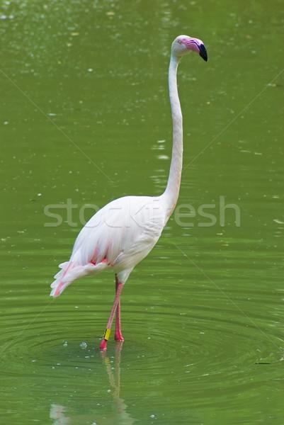 Flamingo beyaz su doğa güzellik tüy Stok fotoğraf © vrvalerian
