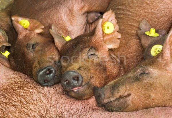 piglets Stock photo © vrvalerian