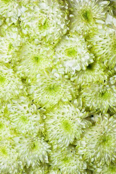 Stockfoto: Chrysant · bloemen · mooie · groene · bloem · najaar