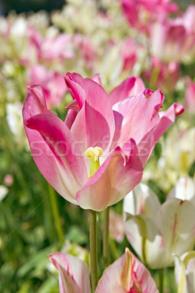 Tulipa abertura flor primavera laranja verde Foto stock © vrvalerian