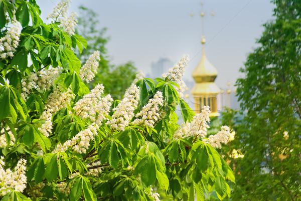 Bloei kastanje groene bladeren hemel bloemen Stockfoto © vrvalerian