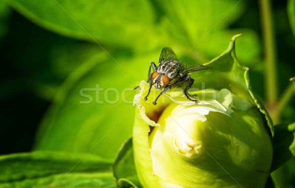 black fly Stock photo © vrvalerian