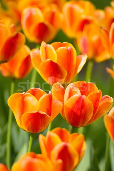 Amarelo tulipas vermelho laranja flor tiro Foto stock © vrvalerian