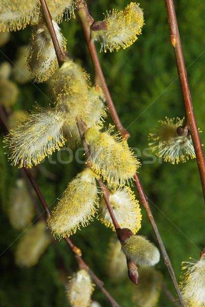 Fűzfa tavasz növény fehér friss Stock fotó © vrvalerian