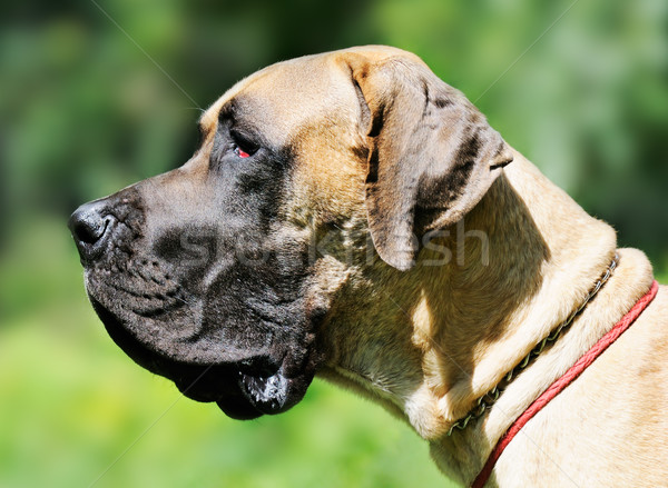Great Dane Dog Stock photo © vtls