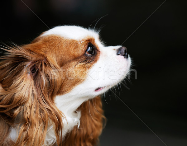 King Charles spaniel portrait Stock photo © vtls