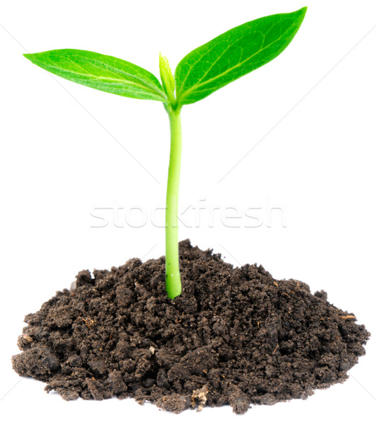 Young green sprout Stock photo © vtls