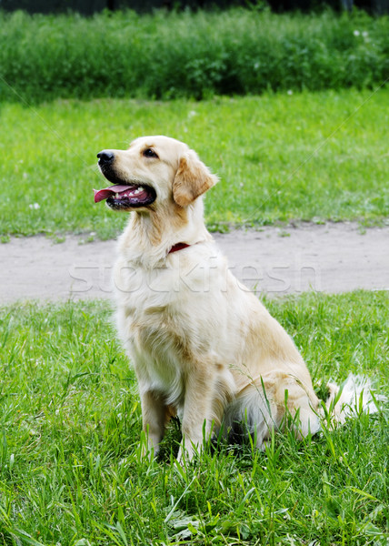 Golden Retriever Stock photo © vtls