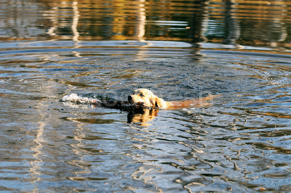 Swimming Golden retriever Stock photo © vtls