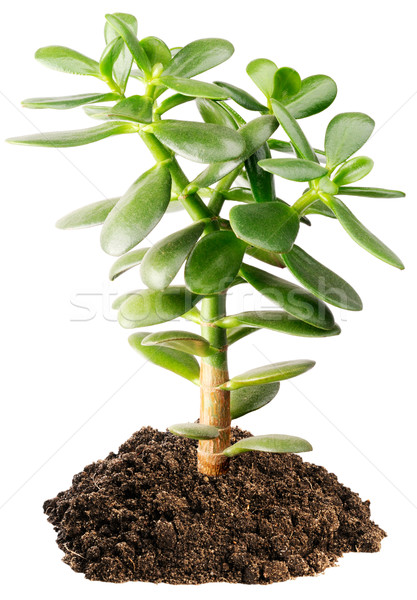 Indoor succulent plant Stock photo © vtls