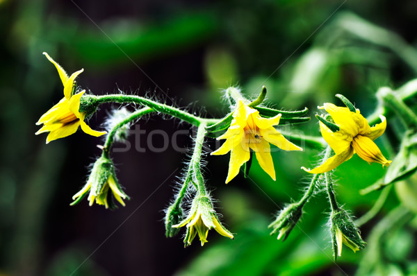 Gele bloemen heldere tomaten groene Stockfoto © vtls
