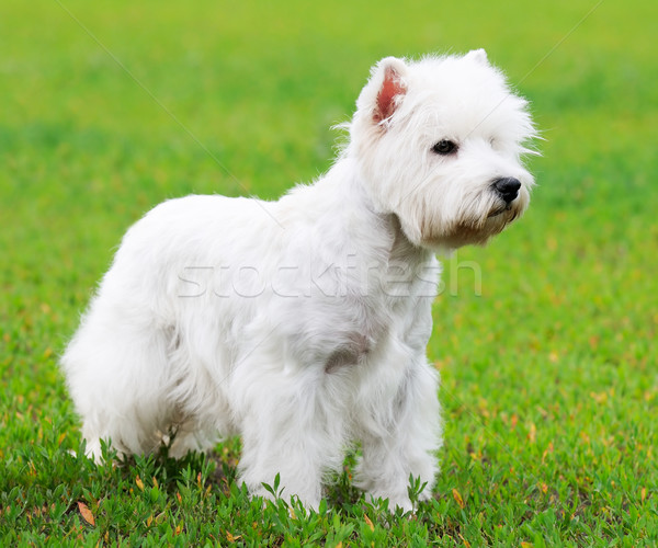Ouest terrier chien permanent herbe verte herbe Photo stock © vtls