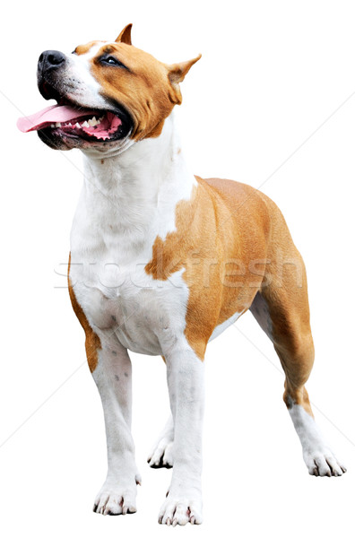 Staffordshire Bull Terrier over white Stock photo © vtls