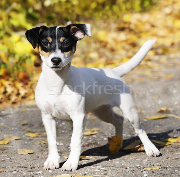 Jack russell terrier kint fiatal kutya portré Stock fotó © vtls