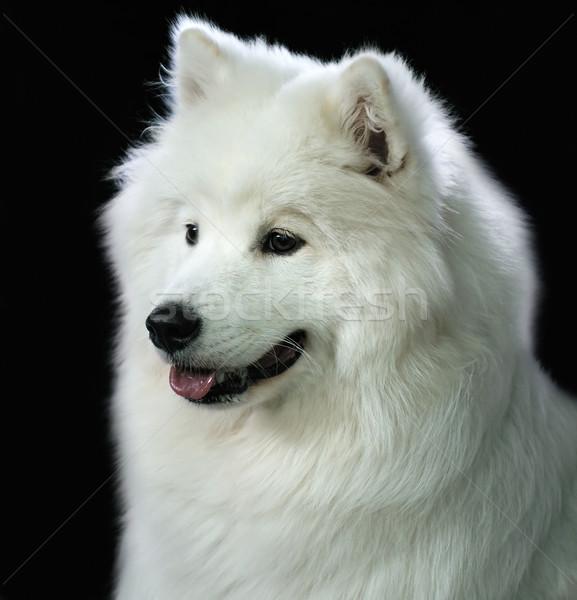 Hond portret witte donkere Stockfoto © vtls