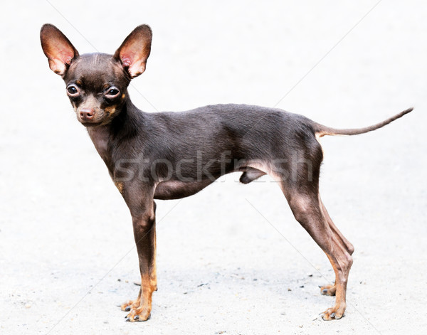 Chihuahua dog standing Stock photo © vtls