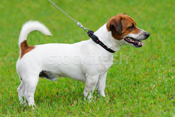 Jack Russell terrier Stock photo © vtls