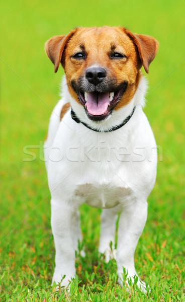 Stockfoto: Jack · russell · terrier · hond · groen · gras · gras · portret · witte