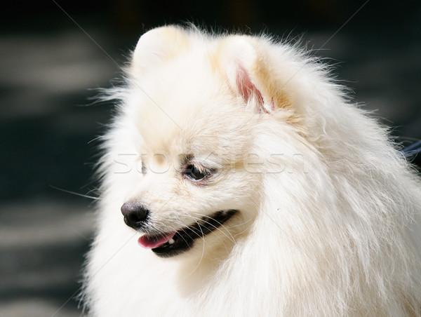 собака белый Открытый портрет Сток-фото © vtls