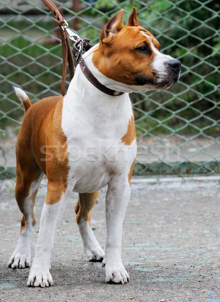Staffordshire Bull Terrier Stock photo © vtls