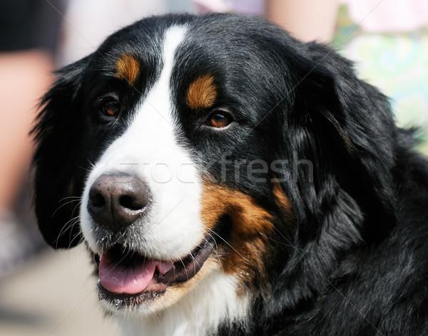 Portret hond outdoor dier vriend Stockfoto © vtls