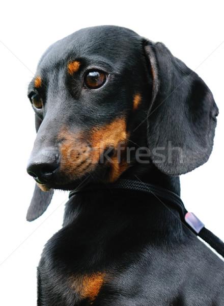 Daksund köpek portre beyaz Stok fotoğraf © vtls