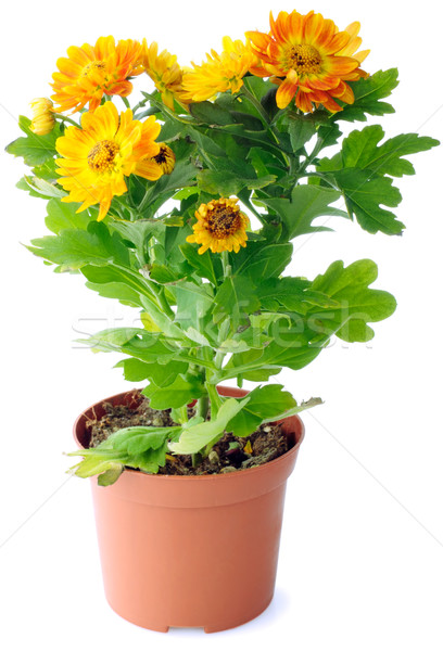 Chrysanthemum flowers Stock photo © vtls