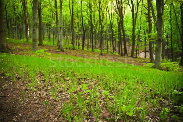 Stock photo: Beech forest
