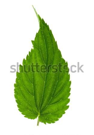 Nettle leaf Stock photo © vtorous