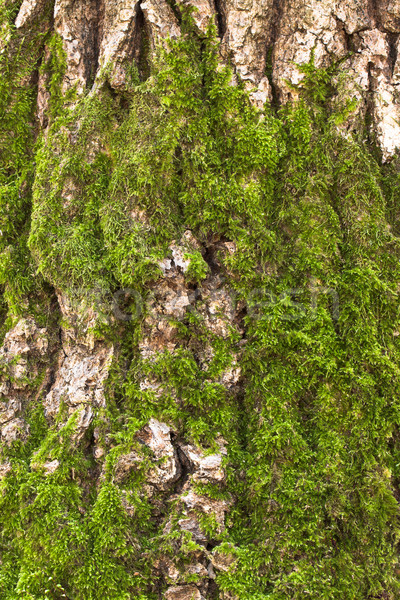 Bark and moss Stock photo © vtorous