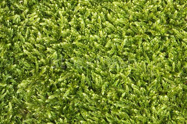 Muschio texture verde erba sole luce Foto d'archivio © vtorous
