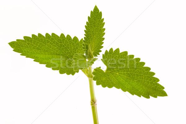 Folhas isolado branco jardim verde medicina Foto stock © vtorous