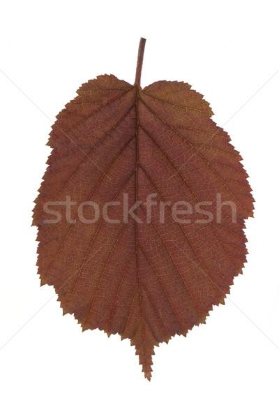 Hazel leaf Stock photo © vtorous