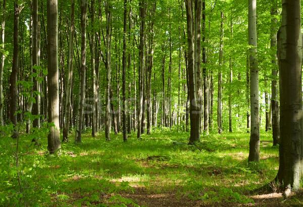 Foto d'archivio: Foresta · primavera · albero · erba · legno · foglia