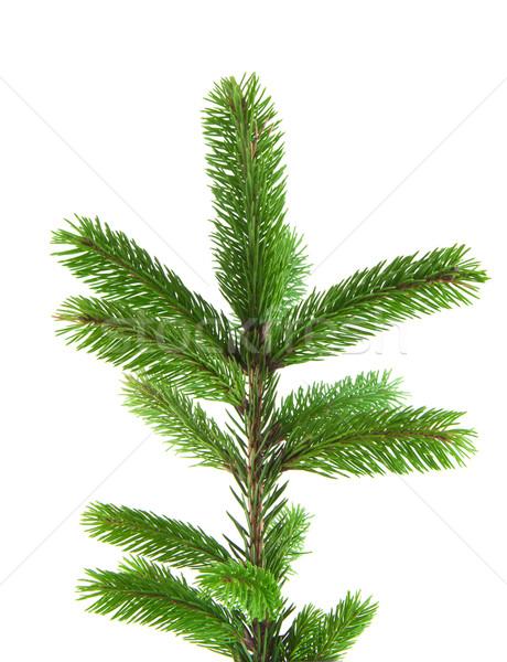 Pine tree branch Stock photo © vtorous