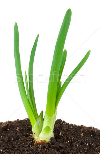зеленый лук изолированный белый фермы каменные овощей Сток-фото © vtorous
