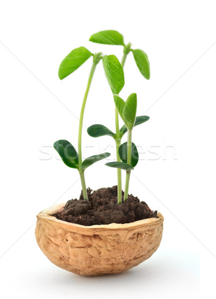 Small plant in a nutshell Stock photo © vtorous