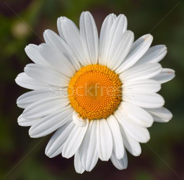Witte bloem voorjaar blad tuin zomer plant Stockfoto © vtorous