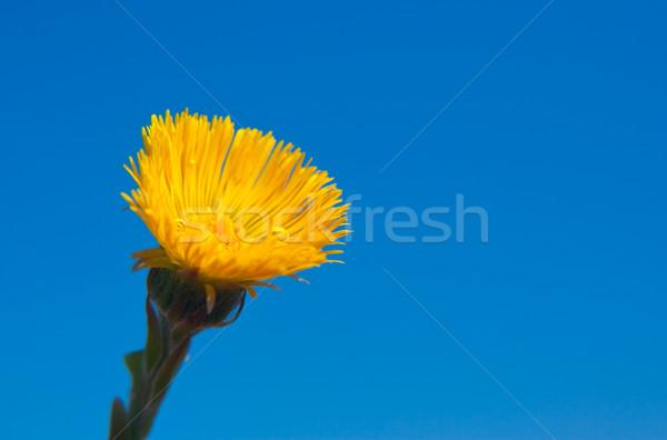 Single yellow flower. Stock photo © vtorous