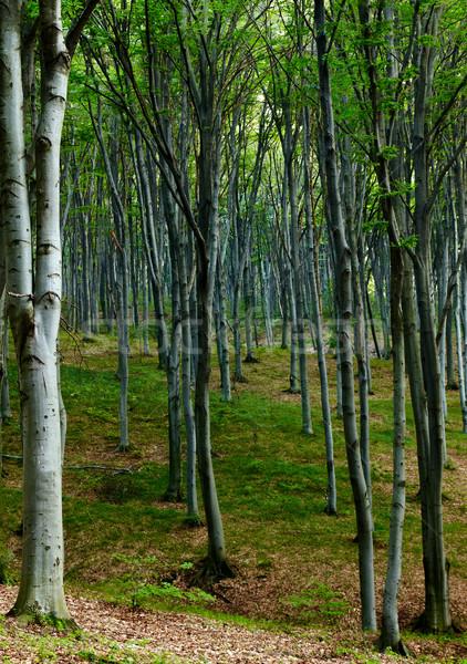 Beechen summer wood Stock photo © vtorous